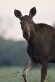 Moose cow walking in the meadow Royalty Free Stock Photos