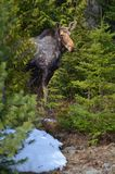 Moose cow in the wild - Stock image. Moose cow in the wild in Ontario, Canada Royalty Free Stock Image