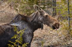 Moose cow in the wild - Stock image. Moose cow in the wild in Ontario, Canada Royalty Free Stock Images