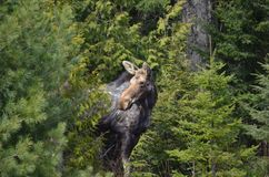 Moose cow in the wild - Stock image. Moose cow in the wild in Ontario, Canada Stock Photo