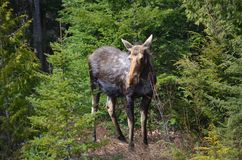 Moose cow in the wild - Stock image. Moose cow in the wild in Ontario, Canada Stock Photography