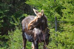 Moose cow in the wild - Stock image. Moose cow in the wild in Ontario, Canada Royalty Free Stock Photo