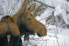 Moose Cow in winter  Alces alces Royalty Free Stock Photos
