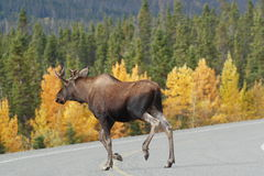 Moose croosing the alaska highway Royalty Free Stock Photography