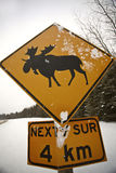 Moose Crossing Stock Photography