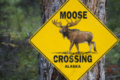 Moose Crossing Royalty Free Stock Images