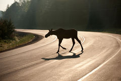 Moose crossing highway in early morning Stock Images