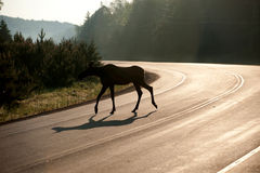Moose crossing highway in early morning Royalty Free Stock Image