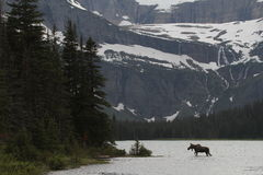 Moose crossing lake Royalty Free Stock Photography