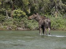 Moose crossing river. Royalty Free Stock Photo