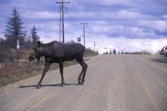 Moose crossing road, AL Royalty Free Stock Photography