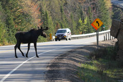 Moose Crossing Road. A bull moose crosses a busy highway in Algonquin Park, Ontario - Canada royalty free stock photo