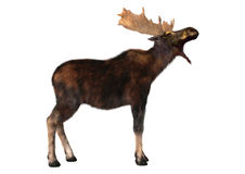 Moose. 3D digital render of a moose (North America) or Eurasian elk (Europe), or Alces alces, isolated on white background royalty free stock photo