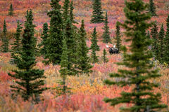 Moose in Denali. Beautiful scenery in Denali Alaska Royalty Free Stock Photo