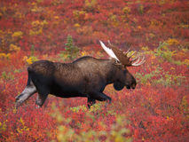 Mature male moose royalty free stock photo