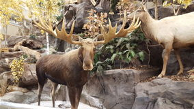 Moose on display royalty free stock images