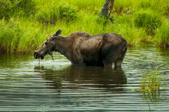 Moose drinking Stock Images