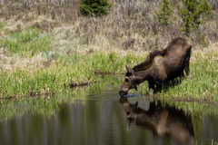 Moose Drinking Water. Female moose in Rocky Mountain National Park Royalty Free Stock Images