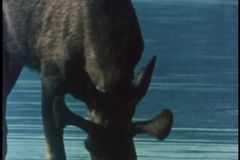 Moose drinking water in river stock footage