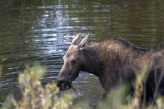 Moose drinks water from the lake. Moose entered the lake to drink water and eat algae. The moose North America or elk Eurasia is the largest extant species in Stock Image