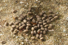 Moose droppings Royalty Free Stock Images