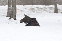 Moose at ease in snow. Stock Photo