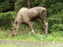 Moose eating Stock Images