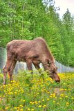 Moose Eating. Grass and flowers for lunch Stock Photo