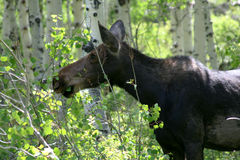 Moose eating Stock Image