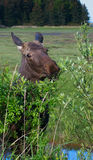 Moose eating Alder Royalty Free Stock Photography