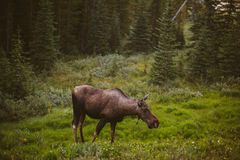 Moose eating grass in the forest Royalty Free Stock Images