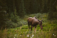 Moose eating grass in the forest Royalty Free Stock Image