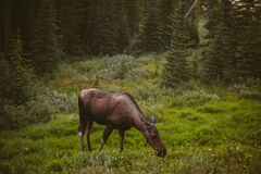Moose eating grass in the forest Stock Photos