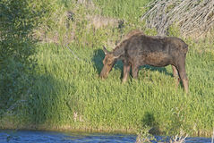 Moose eating green grass near water. Stock Photography