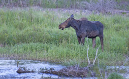Moose eating green grass near water. Stock Photo