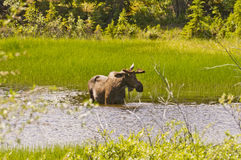 Moose eating in a pond. A moose eating in a pond along the side of the Alaska Highway in the Yukon, Canada Royalty Free Stock Photography