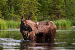 Moose eating water grass Royalty Free Stock Photo