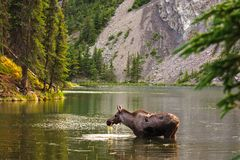 Moose eating water grass Stock Photos