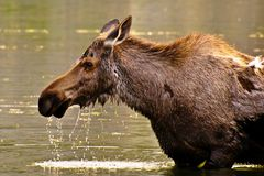 Moose eating water grass Stock Photo