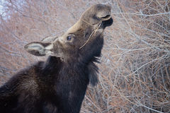 Moose Eating Willows Royalty Free Stock Photography