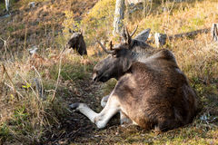 Moose or elk, Alces alces, bull lying down resting. Moose or elk, Alces alces, young bull with antlers resting on the ground in an elk park in Norway Royalty Free Stock Images