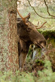 Moose or elk, Alces alces, bull standing behind a spruce. Moose or elk, Alces alces, young bull with antlers standing behind a spruce in Norway Royalty Free Stock Images