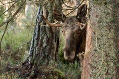 Moose or elk, Alces alces, bull standing behind a spruce. Moose or elk, Alces alces, young bull with antlers standing behind a spruce in Norway Stock Photo