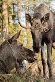 Moose or elk, Alces alces, cow lying down and bull standing, sniffing each other, vertical image royalty free stock images