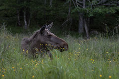 Moose or elk, Alces alces, cow lying down resting. Moose or elk, Alces alces, cow resting on the ground in green grass with flowers Stock Photo