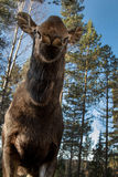 Moose or elk, Alces alces, female cow standing with head lifted, unusual view, funny face, vertical image. Moose or elk, Alces alces, cow. Frogs perspective Stock Photography