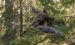 Moose or elk, Alces alces, female standing behind a spruce. Moose or elk, Alces alces, female cow standing behind a spruce in Norway Stock Image