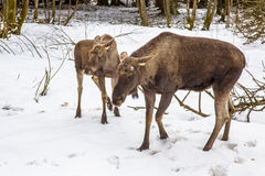 Moose or Elk with calf Stock Images