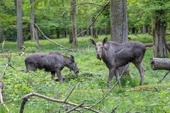 Moose elk cow and calve freely in the forrest. Graze peaceful Stock Image