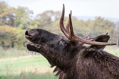 The moose or elk Lat. Alces alces is the largest extant species in the deer family. stock photography